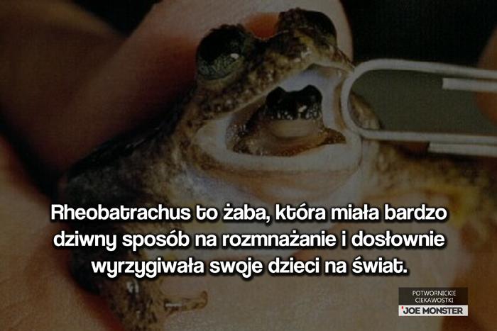 Rheobatrachus to żaba, która miała bardzo dziwny sposób na rozmnażanie i dosłownie wyrzygiwała swoje dzieci na świat.