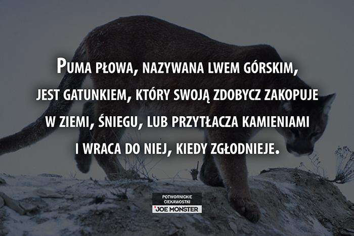 Puma płowa, nazywana lwem górskim, jest gatunkiem, który swoją zdobycz zakopuje w ziemi, śniegu, lub przytłacza kamieniami i wraca do niej, kiedy zgłodnieje.