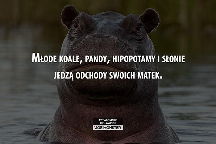 Młode koale, pandy, hipopotamy i słonie jedzą odchody swoich matek.
