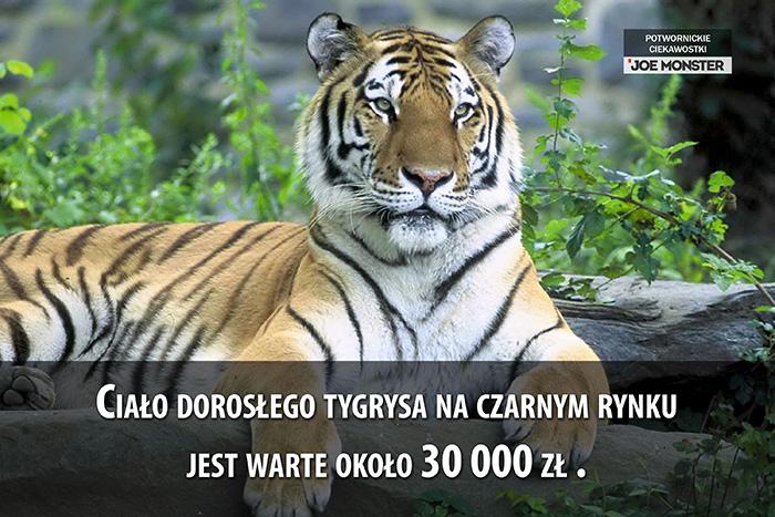Ciało dorosłego tygrysa jest warte około 30 000 zł na czarnym rynku.