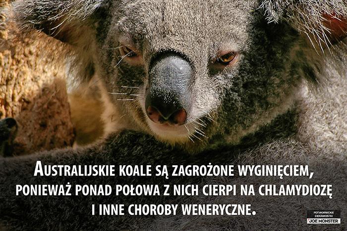 Australijskie koale są zagrożone wyginięciem, ponieważ ponad połowa z nich cierpi na chlamydiozę i inne choroby weneryczne.
