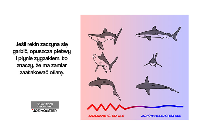 Jeśli rekin zaczyna się garbić, opuszcza płetwy i płynie zygzakiem, to znaczy, że ma zamiar zaatakować ofiarę.