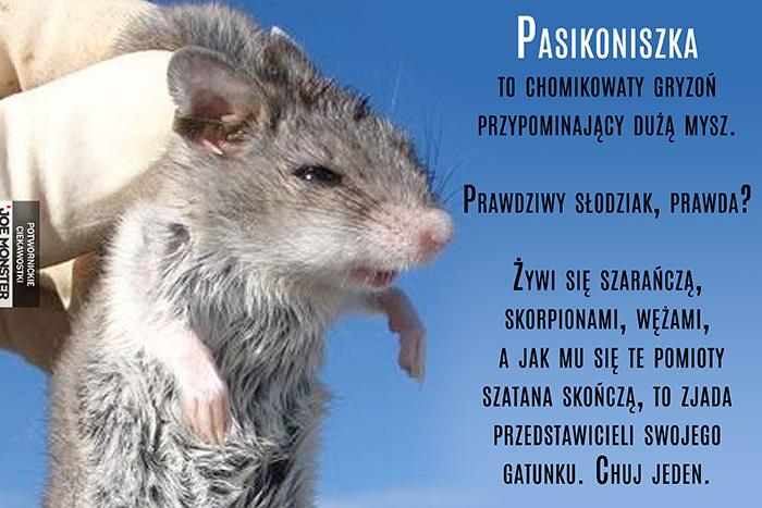 Pasikoniszka to chomikowaty gryzoń przypominający dużą mysz. Prawdziwy słodziak, prawda? Żywi się szarańczą, skorpionami, wężami, a jak mu się te pomioty szatana skończą, to zjada przedstawicieli swojego gatunku. Chuj jeden.