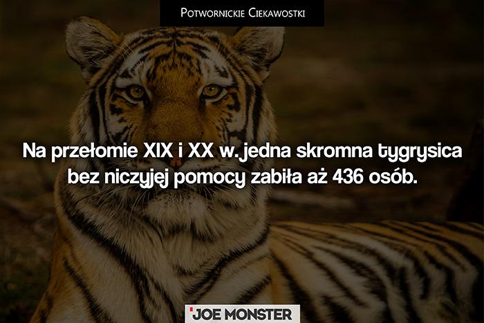 W XIX w. jedna skromna tygrysica bez niczyjej pomocy zabiła aż 436 osób.