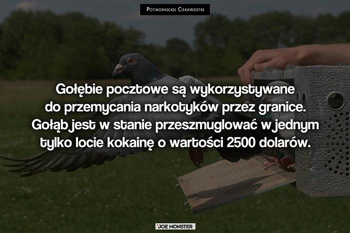 Gołębie pocztowe są wykorzystywane do przemycania narkotyków przez granice. Gołąb jest w stanie przeszmuglować w jednym tylko locie kokainę o wartości 2500 dolarów.