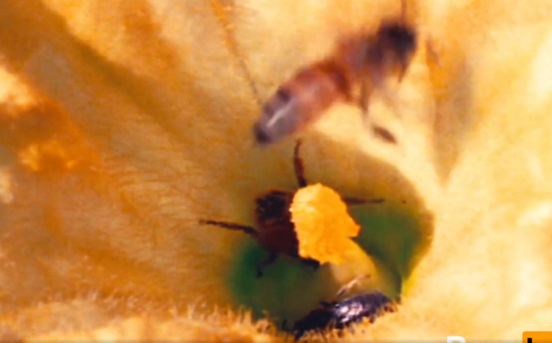 Beesexual - akcja an ratunek pszczołom