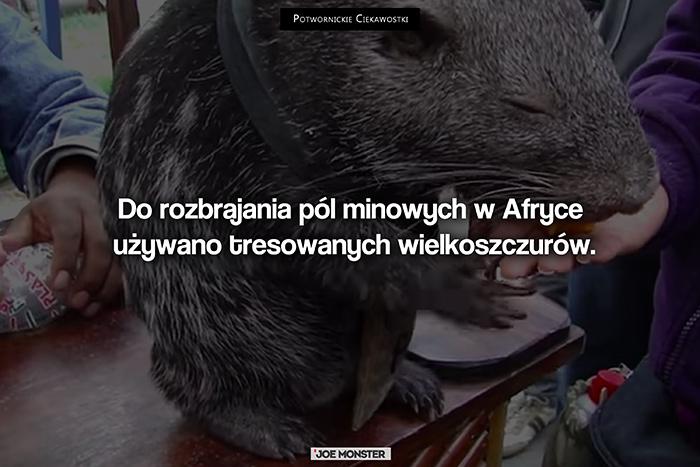 Do rozbrajania pól minowych w Afryce używano tresowanych wielkoszczurów.