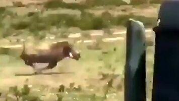 Polowanie na guźca - taką świnię z Afryki