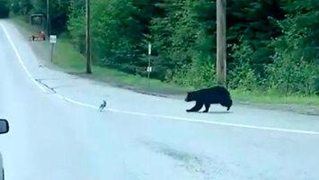 Natura jest okrutna - niedźwiedź po krótkim pościgu złapał zajączka