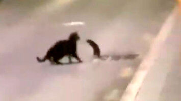 Szczur w heroicznej walce o życie