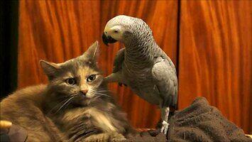 Papuga zaczepia kota