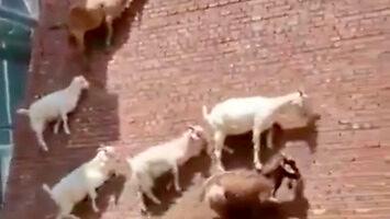Kozy i ich umiejętność wspinaczki