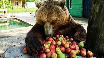 Niedźwiedź dostał jabłuszka