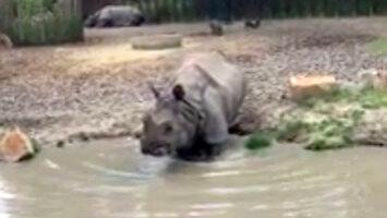 Nosorożec wie, jak urozmaicić ludziom kolację