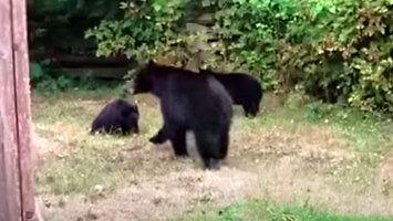 Kanadyjski sposób na pozbycie się niedźwiedzi
