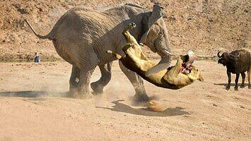 Nie wkurzaj słonia, bo zrobi z ciebie naleśnika