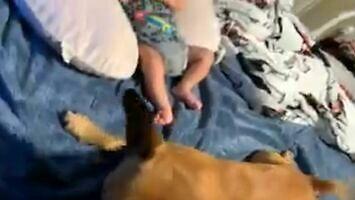 Opiekuńczy psiak broni niemowlaka