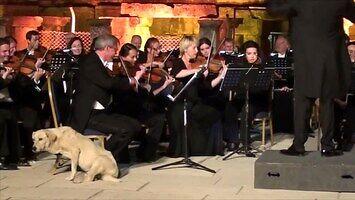 Pies wbija na koncert orkiestry w Turcji