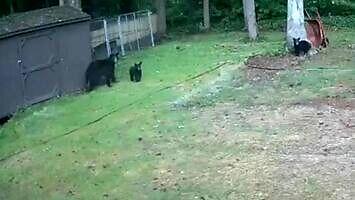Niedźwiedzica broni młode przed psami