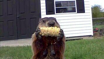 A świstak siedzi i zajada kukurydzę