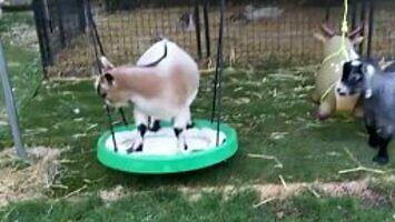 Plac zabaw dla kóz