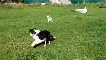 Kiedy chciałeś mieć psa do zaganiania owiec...