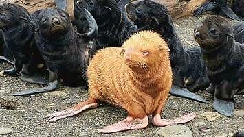 Nawet foki nie lubią rudych