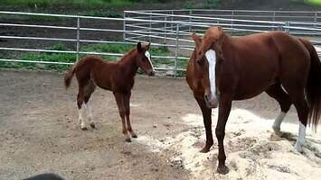 Mama koń szkoli źrebaka