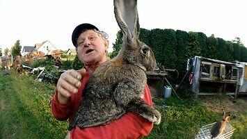 Pan Kazimierz i jego króliki olbrzymy