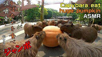 Kapibary wcinają dynię. Filmik odstresowujący
