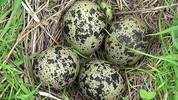 Czajka chroni jajka
