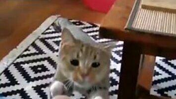 Kot chowa ucho przed stołem