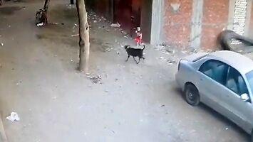 Kot ratuje dziecko zaatakowane przez psa