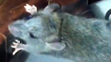 Szczur bawi się z kotami w chowanego