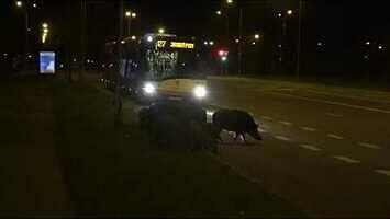 Kierowca autobusu miejskiego przepuszcza lochę z młodymi