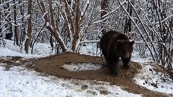 Po 20 latach niewoli niedźwiedź został wypuszczony na wolność