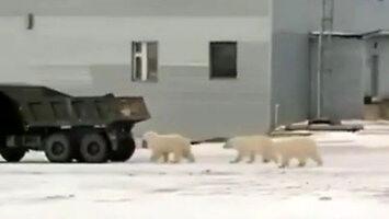 Sfora psów na Syberii biegnie za ciężarówką