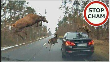 Stado jeleni przeskakuje nad bmw