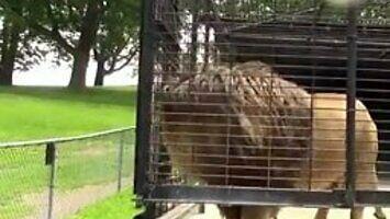 Lew miał już dość turystów