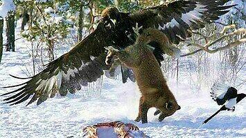 Orzeł przedni to drapieżnik, który atakuje nawet wilki