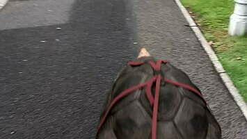 Wyprowadzanie żółwia na spacer