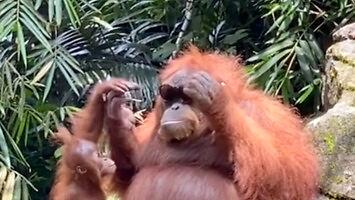 Kiedy do wybiegu orangutanów wpadną ci okulary przeciwsłoneczne