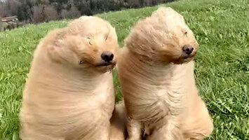 Dwa psy na wietrze