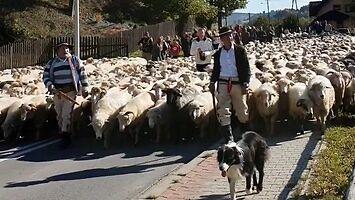 Pienińskie uzdrowisko opanowane przez owce