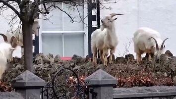 Kozy kolonizują miasto pod kwarantanną