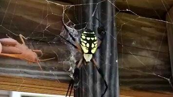 Głodny pająk w akcji