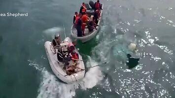 Dobrzy ludzie ratują wieloryba złapanego w sieć meksykańskich kłusowników