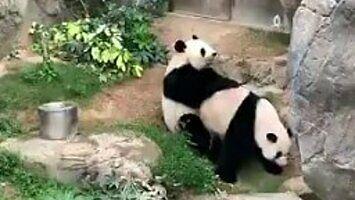 Są też pozytywne skutki pandemii - pandy zaczęły się parzyć