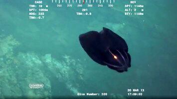 Wampirzyca piekielna - obcy w głębinach oceanu