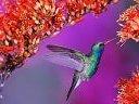 Koliberka